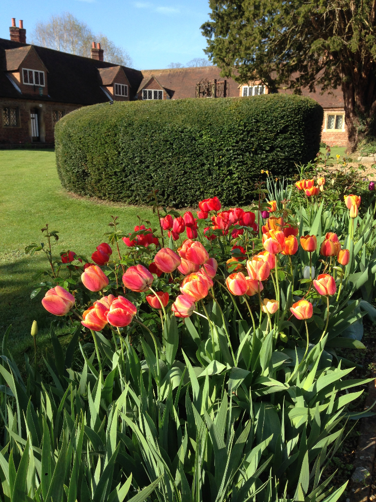 hedge and tulips in a landscaped garden