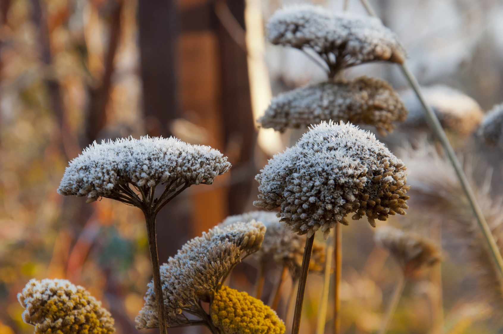flower heads covered in November frosts