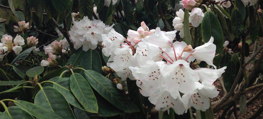 rhododendron in savill garden