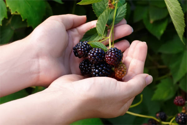 blackberry bush with hands