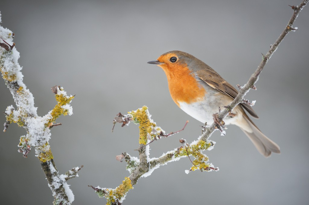 A Robin redbreast perched on a frost covered branch.