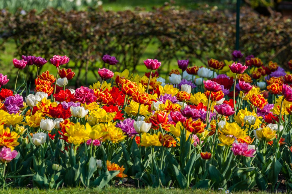 colourful spring flowering bulbs