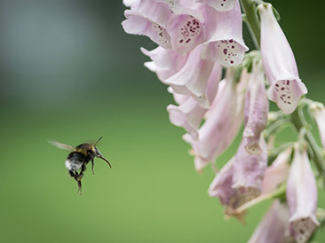 bumble bee and foxglove