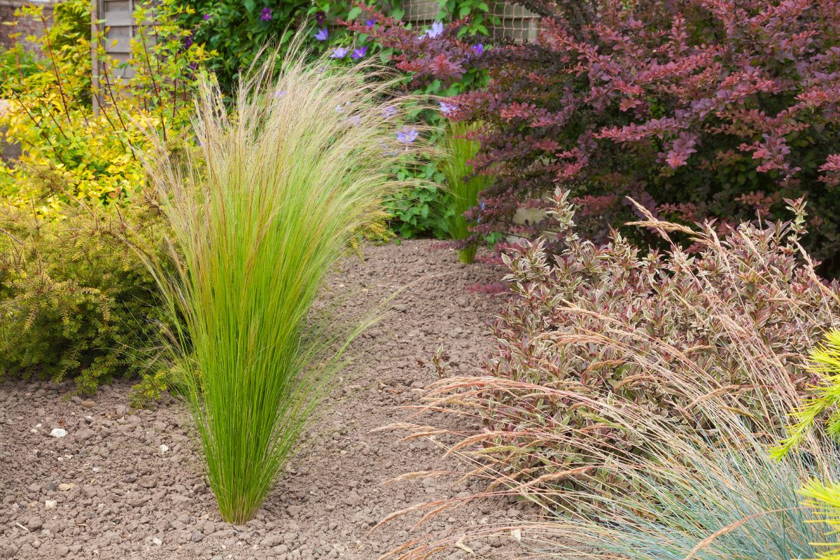 Drought resistant plants and grasses