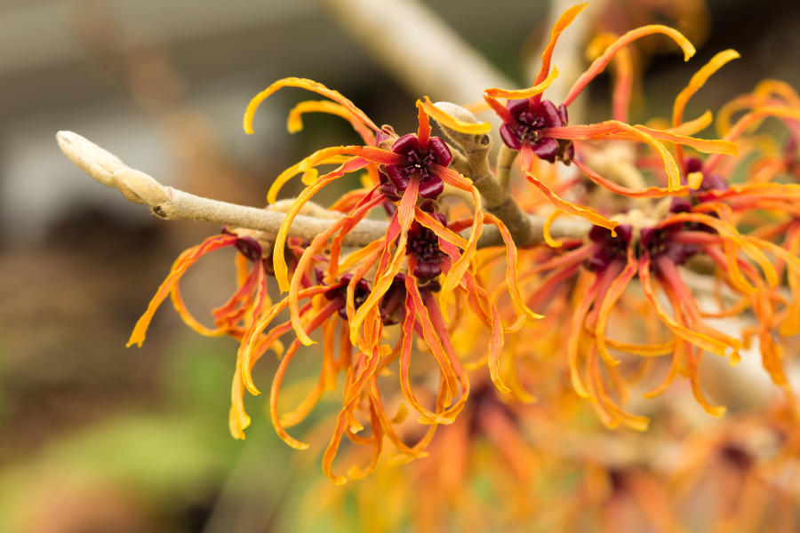 orange witch hazel flowers