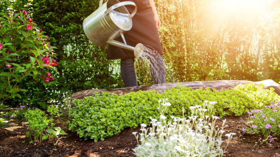 watering flowerbed with watering can