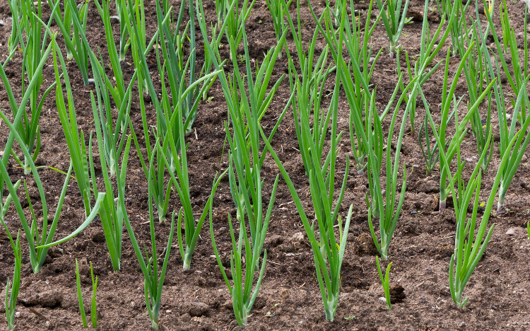 Onions growing in vegetable garden