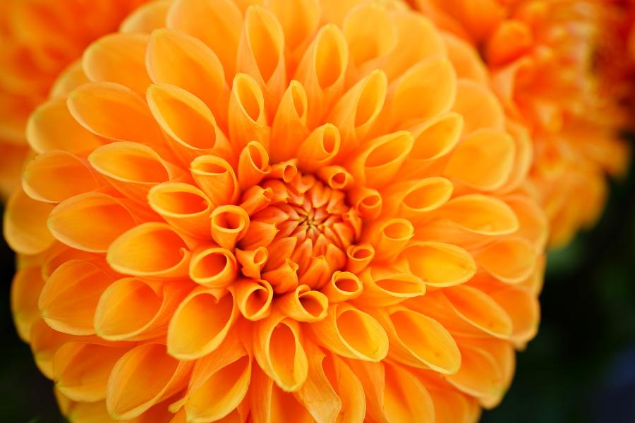 orange pompom dahlia