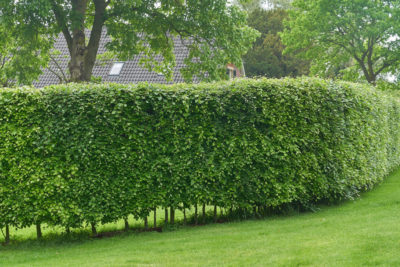 horn beam hedge