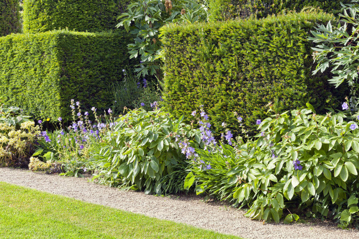 yew hedging behind flower border