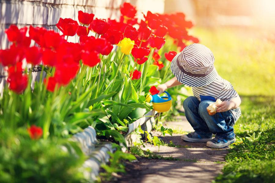 Child watering tulips in garden