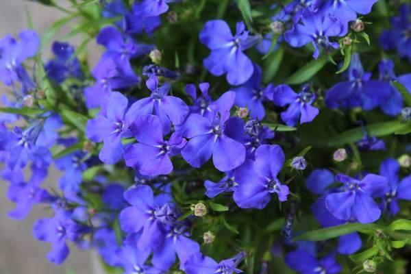 sapphire blue lobelia
